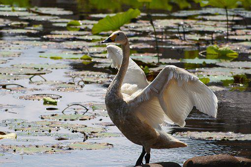 Animal, Lake, Waterside, Wild Birds, Swan