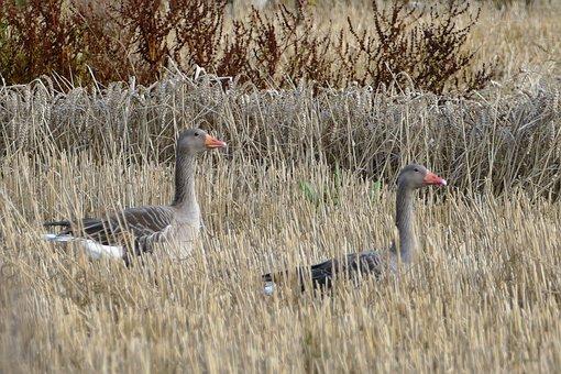 Greylag Goose, Geese, Bird, Water Bird