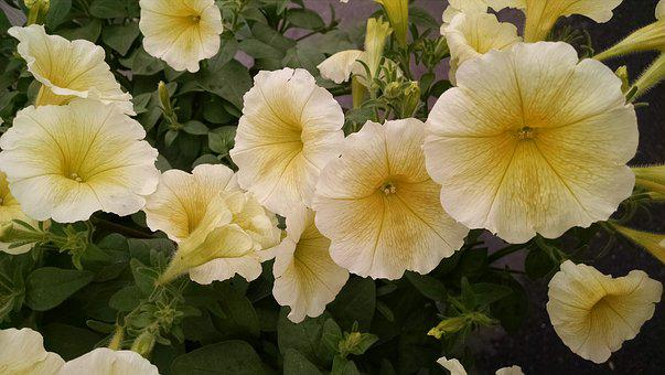 Petunia, Yellow, Golden, Ivory, Blossom, Bloom, Nature