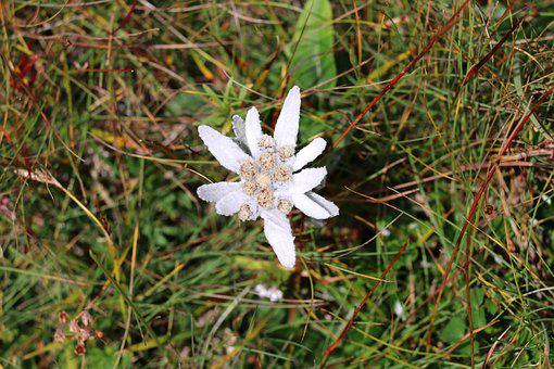 Edelweiss, Flower, Alpine Edelweiß, Protected, Rarely