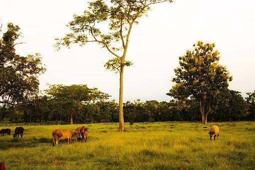 Farm, Livestock, Grazing, Animal, Cow, Animal Husbandry