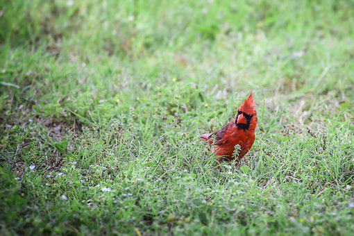Cardinal, Animal, Bird, Fly, Flying, Walk, Walking