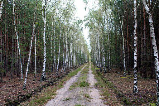 Birch Forest, Tree, Forest, Nature, Way, View, Green
