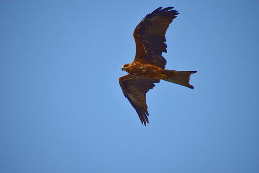 Milvus Migrans, Black Kite, Flight, Bird, Raptor
