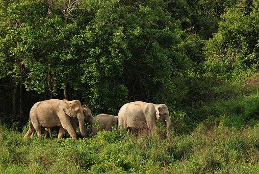 Wild Elephant, Elephant, Asia, Thailand, Nature