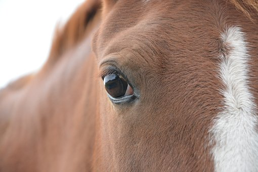 Horse, Equine, Animal, Eye Horse, Domestic Animal