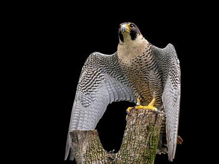 Raptor, Peregrine Falcon, Falcon, Bird, Feather