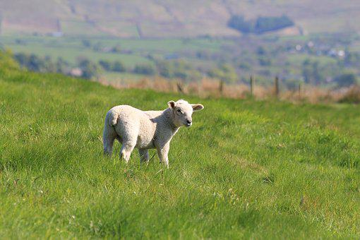 Lamb, Spring, Sheep, Nature, Farm, Field, Livestock