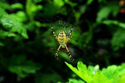 Darázspók, Spider, Arthropod, Macro, Nature, Insect