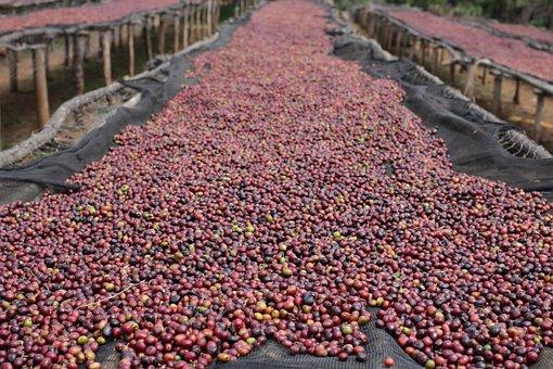 Natural Coffee, Sundried Coffee, Dry Processed Coffee