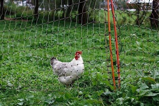 Bio, Chicken, Permaculture, Animal World, Farm, Hen