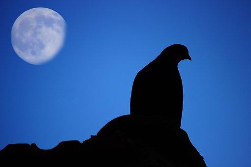 Pigeon, Moon, Dark, Night, Star, Set, Flowers, Gift