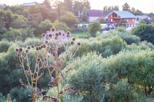 Echinops, Background, Nature, Borovsk, Russia, Plants