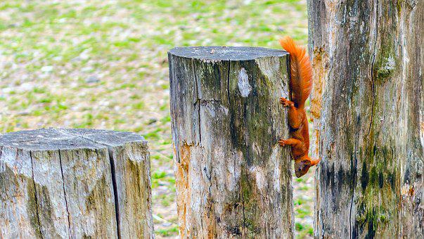 Squirrel, Red Tail, Red, Tree Stump