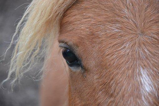 Shetland Pony, œil, Keen Eye, Brown, Blond Mane