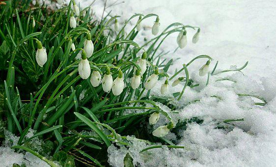 Early Spring, Snow, Snowdrops, Buried, Flowers