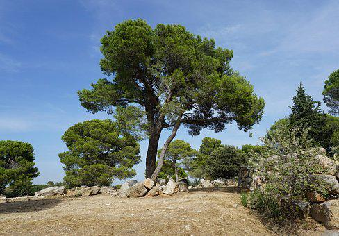 Tree, Pine, Mediterranean, Conifer, Landscape, Nature