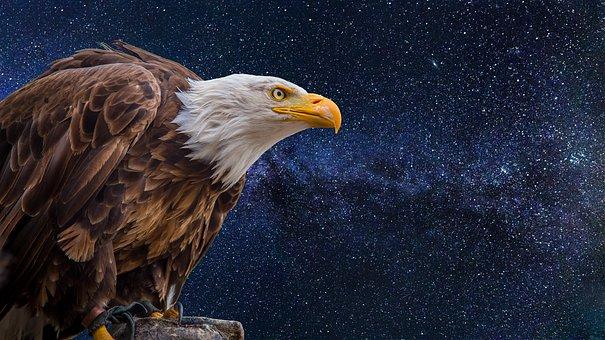 Bald Eagles, Adler, Raptor, Bird, Bald Eagle, Usa