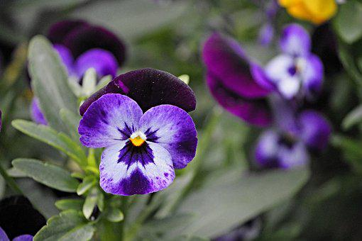 Pansy, Blossom, Bloom, Flower, Spring, Close, Yellow