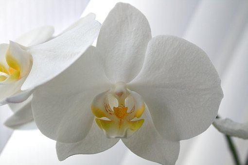 Butterfly Orchid, Moth Orchid, Phalaenopsis, Orchid