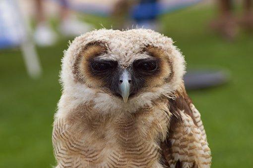 Owl, Bird, Nature, Feather, Predator, Eye, Beak, Face