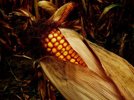 Corn On The Cob, Field, Cultivation, Commodity, Danube