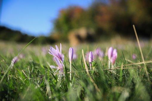 Saffron, Legally Protected, Flower, Autumn Crocus