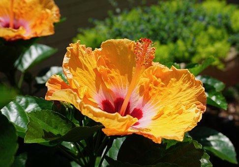 Louisiana Flower, Hibiscus, Flowers