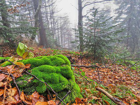 Forest, Autumn, Foliage, Moss, The Fog, Nature, Green