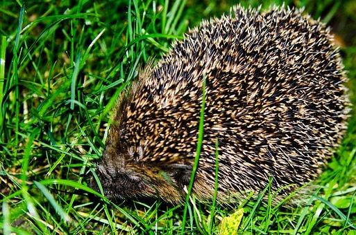 Hedgehog, Garden, Nature, Animal, Green, Summer