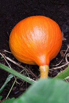 Pumpkin, Hokkaido, Vegetables, Garden, Humus, Earth