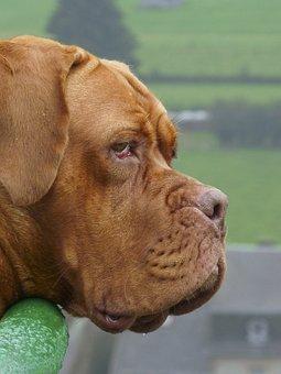 Dog, Large, Dogue De Bordeaux
