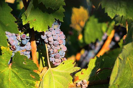 Grapes, Ripe, Sweet, Home, Ukraine, Tasty, Berry, Fruit