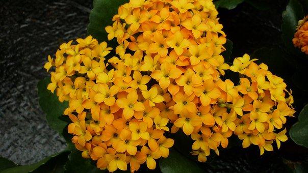 Stonecrop, Flower, Yellow Orange, Flowers, Stone Garden