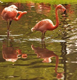Flamingo, Pink, Bird, Water, Water Bird, Pink Flamingo