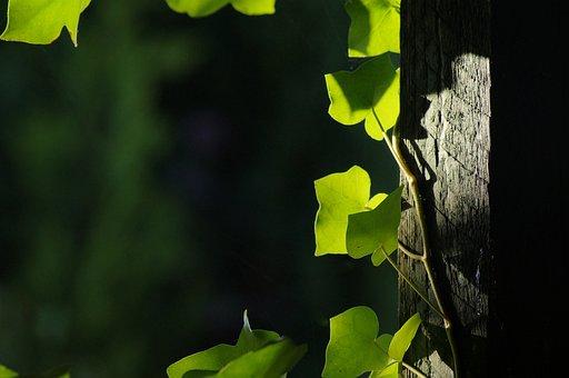 Leaf, Green, Background, Ranke, Wraps Around, Entwine