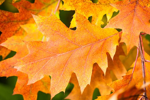Autumn, Leaf, Fall Foliage, Golden Autumn, Leaves
