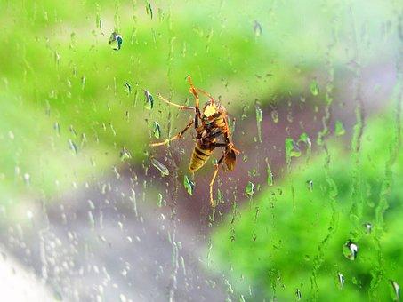 Bee, Wasp, Window, Rain, Bug, Insect