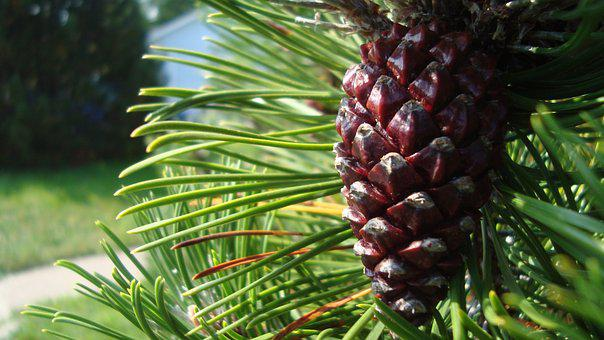 Pine Cone, Tree, Seed, Scale, Pine, Cone
