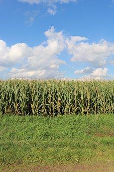 Fields, Corn, Field, Agriculture, Cornfield, Harvest