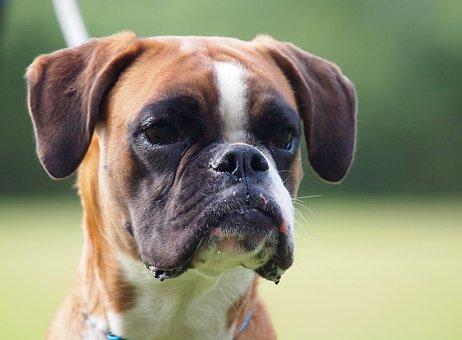 Boxer, German Boxer, Dog Look, Dog, Animal Portrait