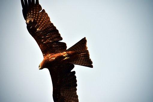 Milvus Migrans, Bird Of Prey, Raptor, Black Kite