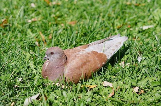 Dove, Bird, Feathered Race, Wild Pigeons, Nature