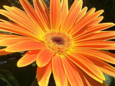 Flower, Open, Spread, Orange, Yellow, Sequence, Outward