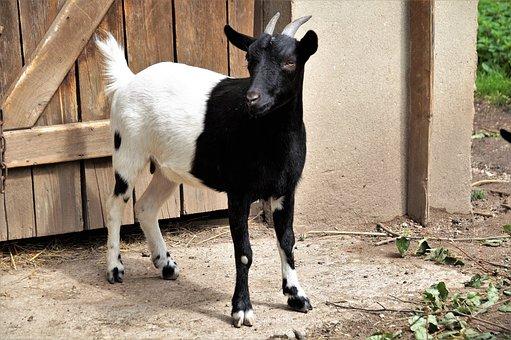 Goat, 2-color, Farmhouse, Pet, Black And White