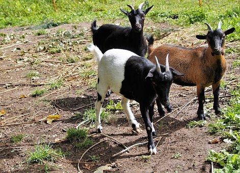 Goats, Goat, Horned, Farm, Economy, Mammal, Pet, Range