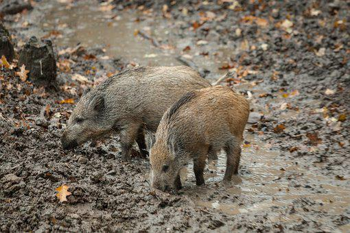 Boar, Autumn, Rooting, Mammal, Nature, Forest, Family