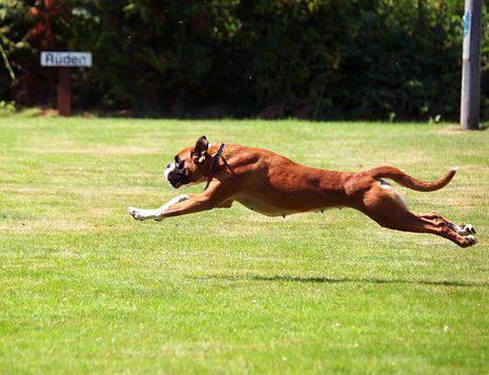 Boxer, German Boxer, Young, Boxer Dogs, Rush, Race