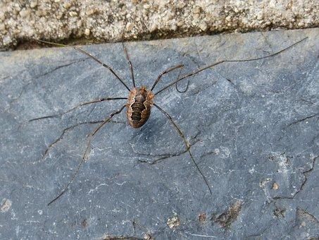 Spider, Spider Zancuda, Insect, Strange