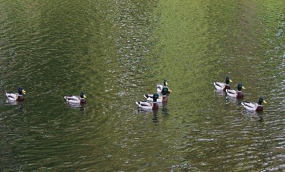 Wild Ducks, Mallard Duck, Pond, Water, Wild Birds